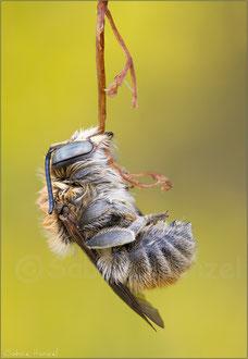 Bastardbiene (anthidium byssinum)