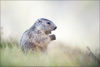 Murmeltier (Marmota)