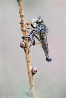 Knoten-Strauchdieb ♂ (neoitamus cothurnatus)
