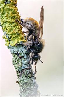 Gelbe Mordfliege ♀ (laphria flava)