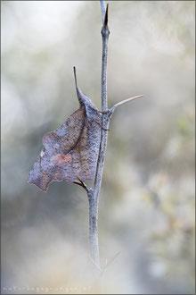 Zürgelbaum-Schnauzenfalter (Libythea celtis)