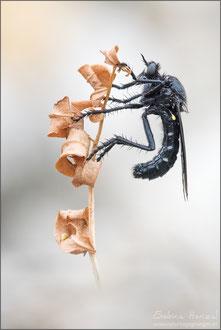Dasypogon diadema ♂ - Große Wolfsfliege