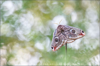 Kleines Nachtpfauenauge ♀ (saturnia pavonia)