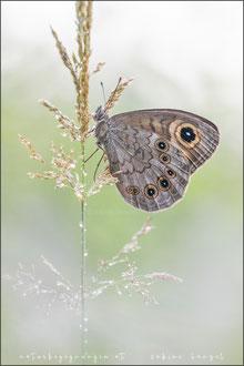 Braunauge (lasiommata maera)