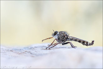 Tolmerus micans ♂ - Marmorierte Raubfliege