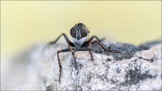 Marmorierte Raubfliege ♀ (tolmerus micans)