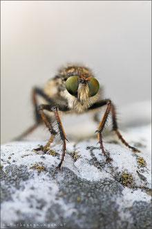 Cyrtopogon ruficornis ♀ - Große Makelfliege