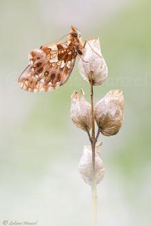 Magerrasen-Perlmuttfalter (boloria dia)