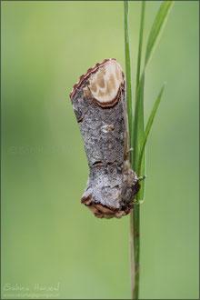 Mondvogel (phalera bucephala)
