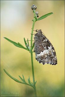 Weißer Waldportier (brintesia circe)