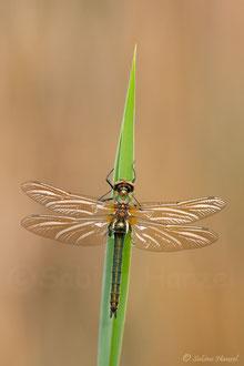 Falkenlibelle (cordulia aenea)
