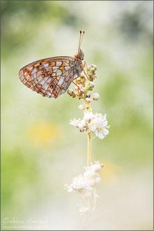 Mädesüß-Perlmuttfalter (brenthis ino)