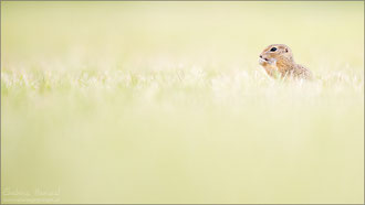 Europäisches Ziesel (spermophilus )