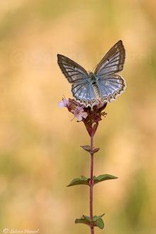 Zahnflügel-Bläuling ♀ (polyommatus daphnis)