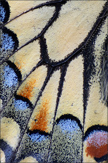 Schwalbenschwanz (papilio machaon)