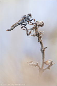 Kleine Raubfliege ♂ (Tolmerus pyragra)
