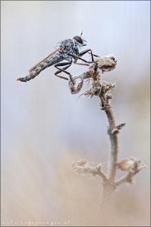 Tolmerus pyragra ♂ - Kleine Raubfliege