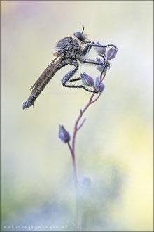 Machimus rusticus ♂ - Schlichte Raubfliege