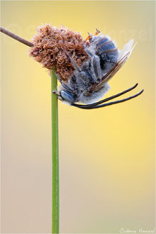 Langhornbiene (eucera / tetralonia)