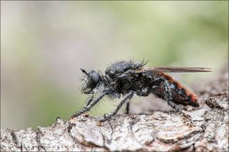 Andrenosoma albibarbe ♀ - Alpen-Mordfliege