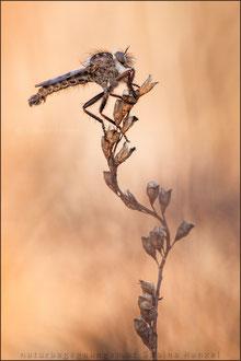 Frühlings-Raubfliege ♂ (erax barbatus)