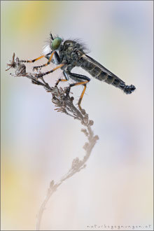 Neoitamus cothurnatus ♂ - Knoten-Strauchdieb