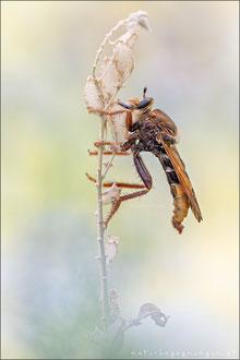 Hornissen-Raubfliege ♂ (asilus crabroniformis)