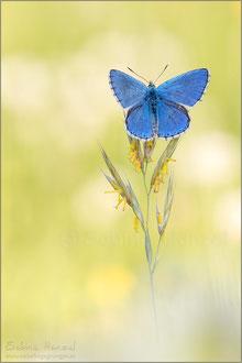 Himmelblauer Bläuling ♂ (polyommatus bellargus)