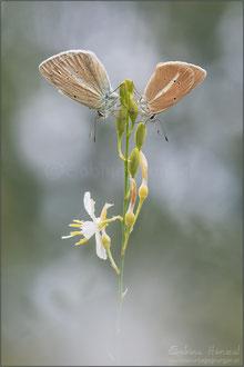 Weißdolch-Bläuling ♂+♀ (polyommatus damon)