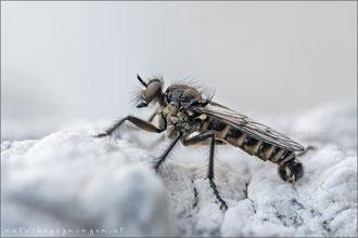 Lasiopogon spec. ♂