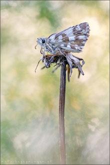 Warrens Würfel-Dickkopffalter (Pyrgus warrenensis)