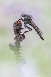 Gemeine Raubfliege ♀ (Tolmerus atricapillus)