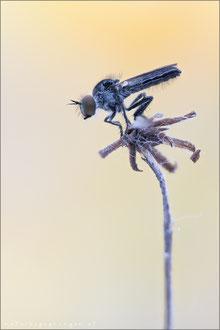 Holopogon fumipennis ♂ - Braune Rabaukenfliege