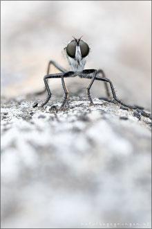 Neomochtherus alpinus ♂ - Alpen-Raubfliege