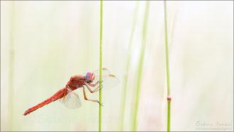 Feuerlibelle ♀ androchrom gefärbt (crocothemis erythraea)