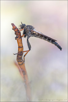 Pamponerus germanicus - Alabasterfliege