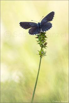 Fetthennen-Bläuling ♀ (scolitantides orion)