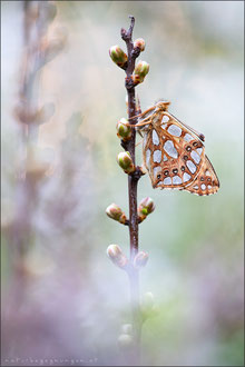 Kleiner Perlmuttfalter (issoria lathonia)