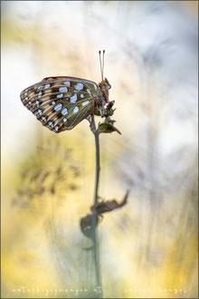 Großer Perlmuttfalter (argynnis aglaja)