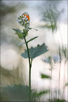 Aurorafalter (Anthocharis cardamines)