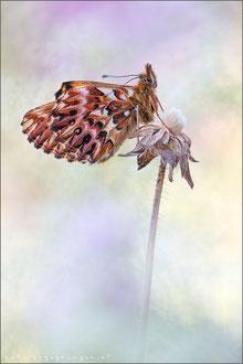 Natterwurz Perlmuttfalter (boloria titania)