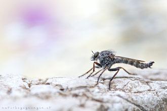Gemeine Raubfliege ♂ (Tolmerus atricapillus)