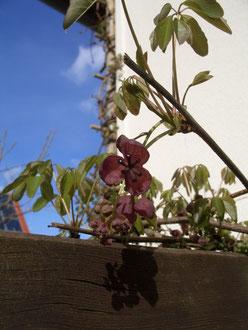 Schokoladenwein große Blüte weiblich, Hauswestseite