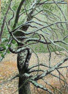 Oak of Brousses, pastel 15x11 (sold) Sylvie Berman artiste peintre