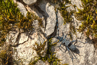 Alpenbock - Rosalia alpina (Linnaeus, 1758) [105 mm / f16 / ISO 160 / 1/160 Sek.]