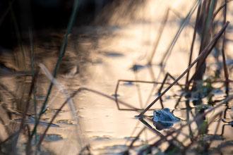 Moorfrosch-Männchen zur Paarungszeit blau gefärbt - Rana arvalis Nilsson, 1842 [500 mm / f6.3 / ISO 250 / 1/125 Sek.]