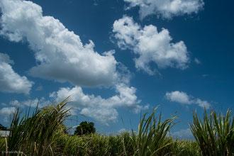 Guadeloupe, An Ba Bwa La, champs de canne à sucre