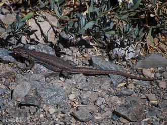 Lezard bleu (Tizon) (espèce endémique au Teide, Tenerife, Canaries