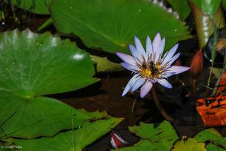Guêpe dans une fleur de nénuphar à l'île Maurice