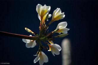 Fleur de Frangipanier au Jardin de pamplemousse de l'Ile Maurice